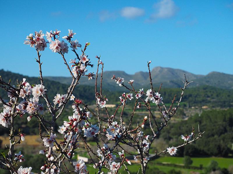 Mandelblüte auf Mallorca - Mandelbaum in Arta