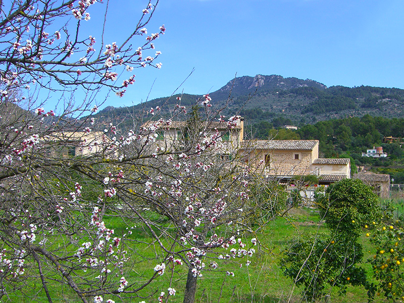 Mandelblüte auf Mallorca - Mandelbaum in der Nähe von Soller